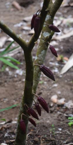 Caritas International België Een beter bestaan voor gemeenschappen door betere cacao