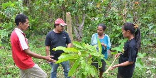 Caritas International Amélioration des conditions de vie en Indonésie (Maumere) à grâce à la culture du cacao.