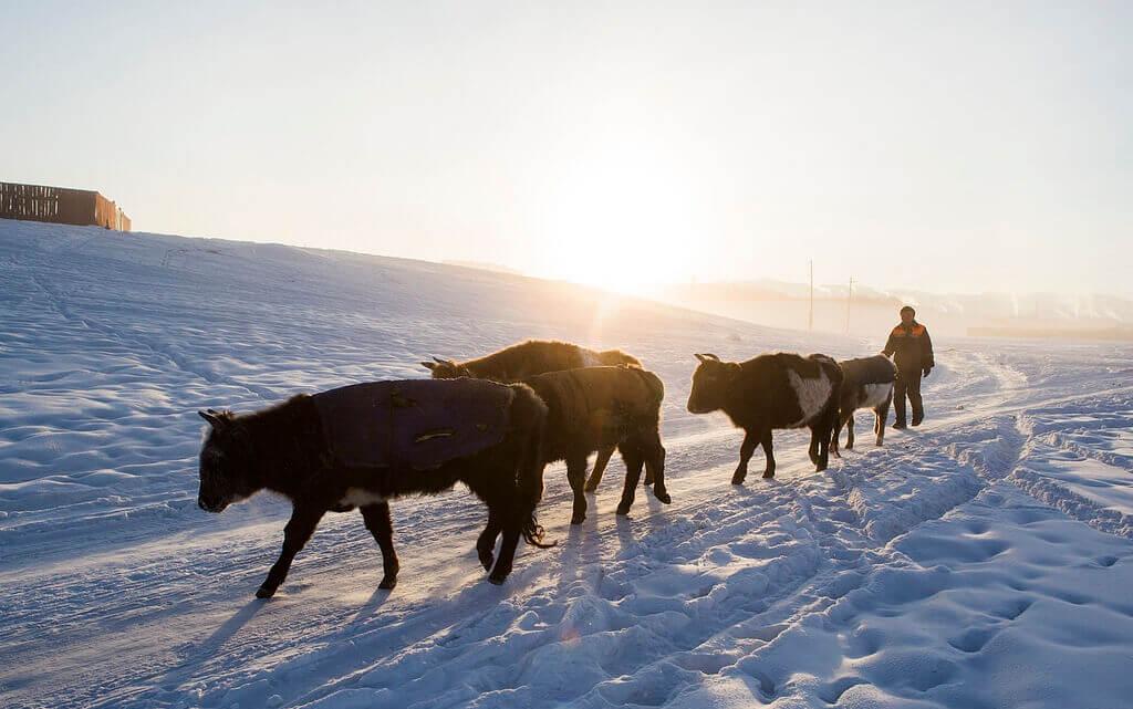 Caritas International België Hulp aan herdergezinnen en vermindering van de risico's in gebieden getroffen door Dzud