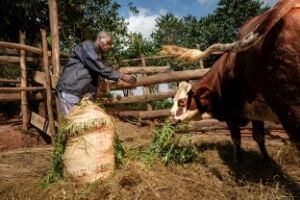 Isabel Corthier - L'agriculture et l'élevage sont les principales sources de revenus des Burundais/aises